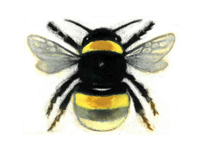 Bombus terrestris, Queen  13/50