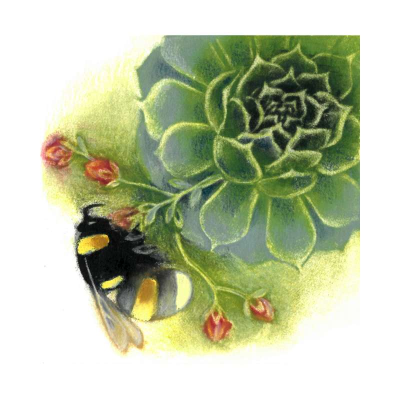 Bumblebee on Sempervivum 7/80
