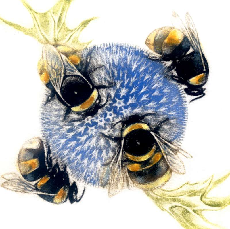 Bumblebee on Echinops 41/60